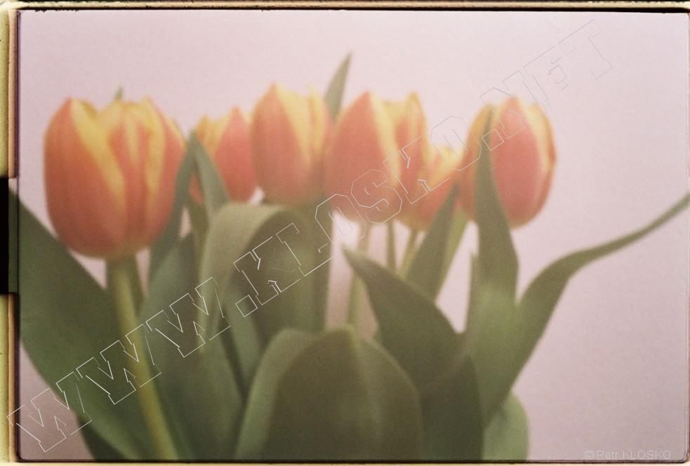 Detail - WPPD2015 - Tulipány